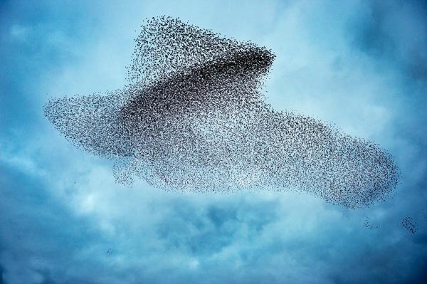 Starlings Sturnus vulgarus flocking before roosting this shape making in the sky is known as a murmuration Gretna Green Dumfries Scotland December
